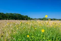 Maravillas de maíz Fotografía de archivo libre de regalías