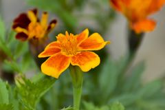 Maravillas que florecen en sol del verano fotos de archivo
