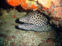 Maray eel. Moray eel in a cave Stock Image