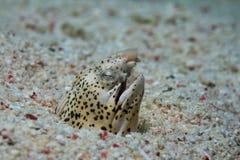 Marbeld蛇鳗鱼 图库摄影