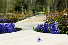 Marble beds in the park decorated by hyacinths with a separate flower of a hyacinth. In foreground stock photos