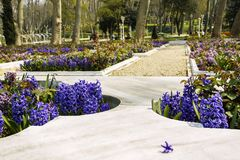 Marble beds in park decorated by hyacinths with a separate flower of a hyacinth. Marble beds in the park decorated by hyacinths with a separate flower of a royalty free stock photos