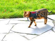 Bengal cat on a harness and leash on a stroll outside. Marble bengal cat on a harness and leash on a stroll outside Royalty Free Stock Photography