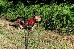 Bengal cat on a harness and leash on a stroll outside side view. Marble bengal cat on a harness and leash on a stroll outside side view Stock Photography