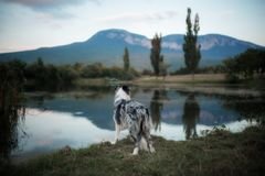 Marble black and white blue border collie look at the lake royalty free stock photography