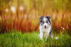 Marble black and white border collie sitting in green grass stock images