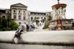 Marble Border collie lying down on the street stock images