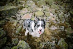 Marble border collie sitting on the rocks royalty free stock images