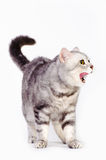 Marble british cat Royalty Free Stock Images