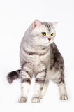 Marble british cat Royalty Free Stock Photos
