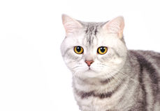 Marble british cat Royalty Free Stock Photo