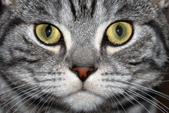 Marble british cat Stock Photography