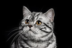 A marble british cat secretly sneaking over a black background Royalty Free Stock Images