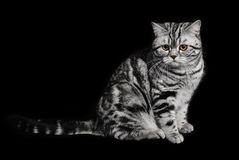 A marble british cat secretly sneaking over a black background Stock Image