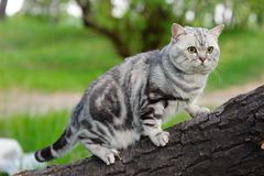 Marble british cat Royalty Free Stock Photography