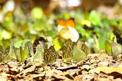 Marble butterflies,rare species in tropical Royalty Free Stock Photography