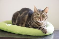 Marble cat relaxing in comfortable green cat bed with white paw prints, beautiful lime eyes, eye contact. Marble cat relaxing in comfortable green cat bed with Royalty Free Stock Photos