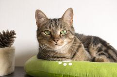 Marble cat relaxing in comfortable green cat bed with white paw prints, beautiful lime eyes, serious expression. Funny playful face Royalty Free Stock Photo