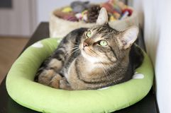 Marble cat relaxing in comfortable green cat bed with white paw prints, beautiful lime eyes, serious expression. Funny playful face Royalty Free Stock Images