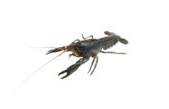 Marble crayfish Stock Photography
