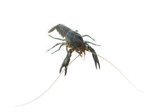 Marble crayfish Royalty Free Stock Photos