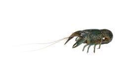 Marble crayfish Royalty Free Stock Photo