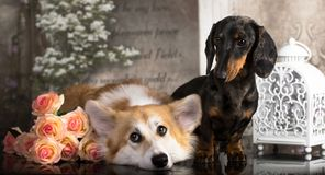 friends, dachshund and welsh corgi royalty free stock photos