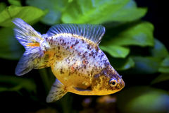 Marble fantail goldfish Royalty Free Stock Photos