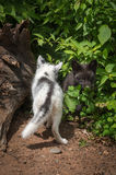 Marble Fox and Silver Fox Vulpes vulpes Back and Front. Captive animals stock image