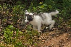 Marble Fox (Vulpes vulpes) Frolics Stock Image