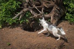 Marble Fox Vulpes vulpes Looks Into Den Stock Image