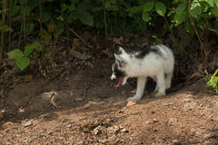 Marble Fox (Vulpes vulpes) Looks Left Royalty Free Stock Image