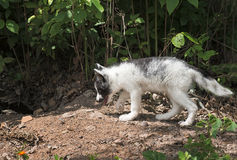 Marble Fox (Vulpes vulpes) Walks Left Stock Photography
