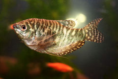 Marble gourami Stock Photos