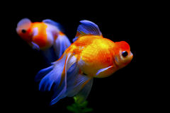 Marble phoenix egg fish Royalty Free Stock Photo