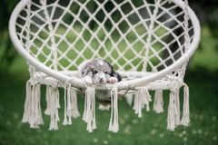 Marble puppy border collie sleeping in a white hammock in nature royalty free stock photos