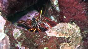 Marble shrimp Galapagos island stock video footage
