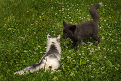 Marble and Silver Fox Vulpes vulpes Face Off in the Grass. Captive animals Stock Images