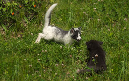 Marble and Silver Fox (Vulpes vulpes) Play in the Grass Royalty Free Stock Photo