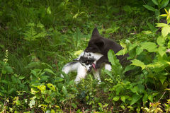 Marble and Silver Fox (Vulpes vulpes) Wrestling Stock Image