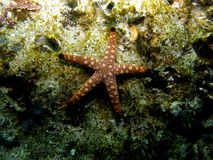 Marble Star Fish on Coral Reef royalty free stock images