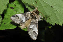 Marbled Brown Moth Stock Photography