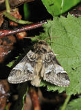 Marbled Brown Moth Stock Photo