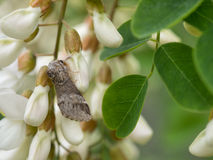 Marbled brown moth on white acacia flowers Royalty Free Stock Photos