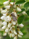 Marbled brown moth on white acacia flowers Royalty Free Stock Image