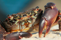 Marbled crab portrait / Pachygrapsus marmoratus. Marbled crab portrait close-up , Pachygrapsus marmoratus , Jupiter Coast , Black Sea, Romania Stock Photography
