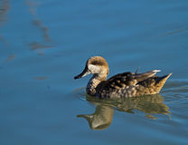 Free Marbled Duck Royalty Free Stock Images - 36761899