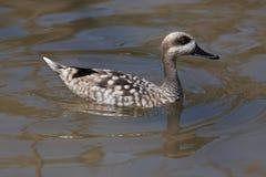Marbled duck (Marmaronetta angustirostris). Stock Photo