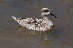 Marbled duck (Marmaronetta angustirostris). Stock Images