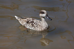 Marbled duck (Marmaronetta angustirostris). Royalty Free Stock Photography